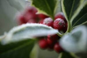 Holly berries covered in frost. Pic - Andy Hay (rspb-images.com)