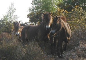 Broadwater Exmoor Ponies. Pic Steve Wheatley