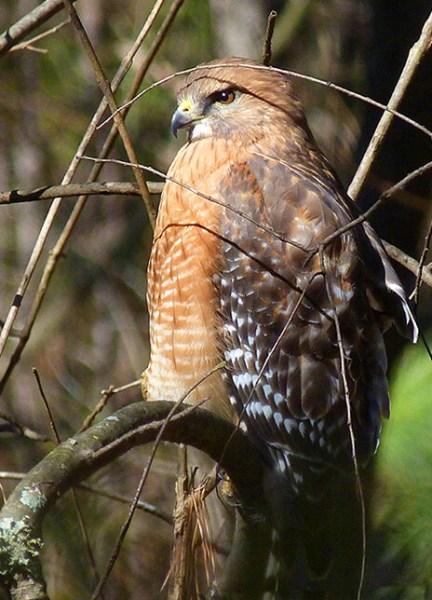 Adult red-shouldered hawk.