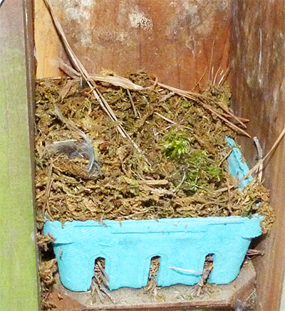 This nest has historically been used by bluebirds. The tradition continues.