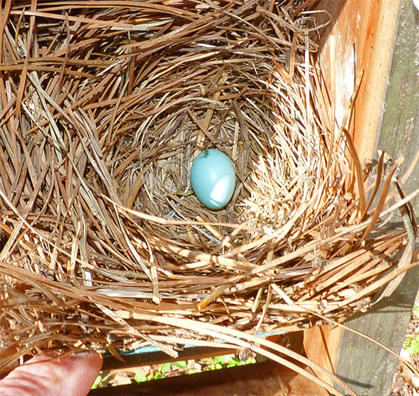 A single egg at the Woodland nest (3/29/16).