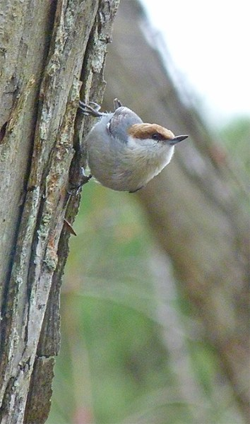 Brown-headed nuthatch.