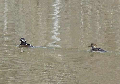 Lingering hooded mergansers.