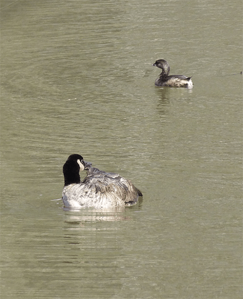 Canada goose with pied-billed grebe.