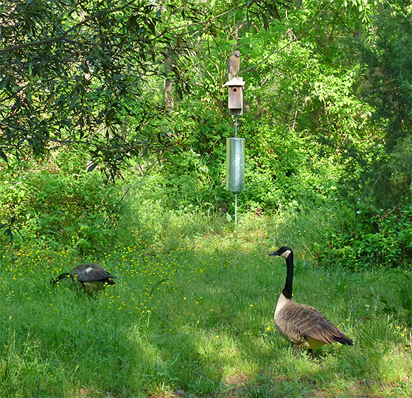 Geese grazing in the grass and hawk atop the nest box (4/26/16).