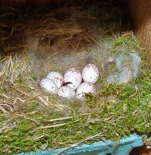 Bungee nest with six chickadee eggs (4/5/16).