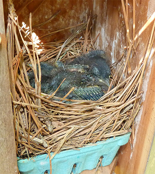 A tightly huddled mass of bluebird nestlings at Woodlands (4/26/16).