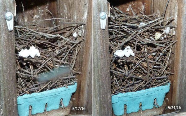 A wren has added to this nest (5/24/16).
