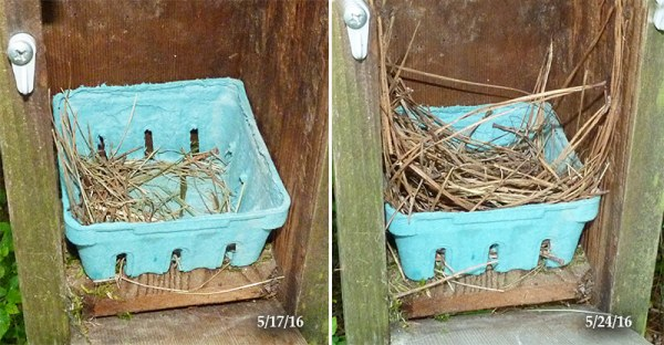 Additional nest material in bluebird nest at Aphimeadow (5/24/16).