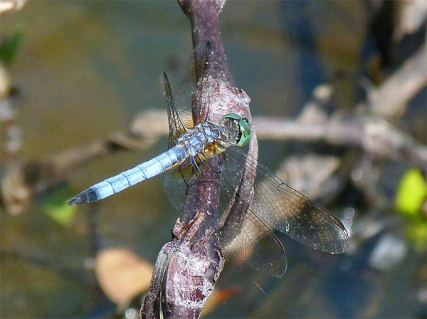 Male blue dasher.