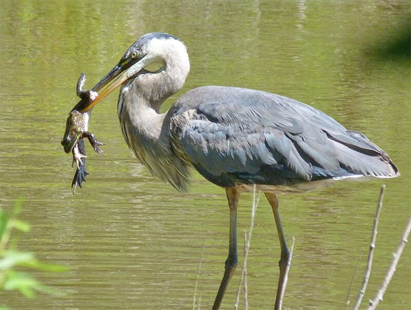 Great Blue Heron with a fine catch (bullfrog).