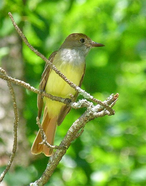 This Great-crested Flycatcher is learning the art of catching flying insects.