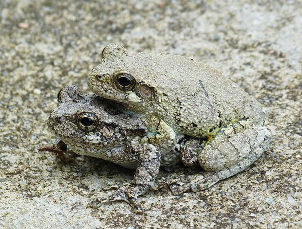 It wasn't long before more treefrogs showed up.