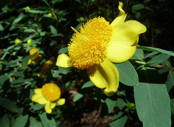 A very attractive flower (St. John's wort).