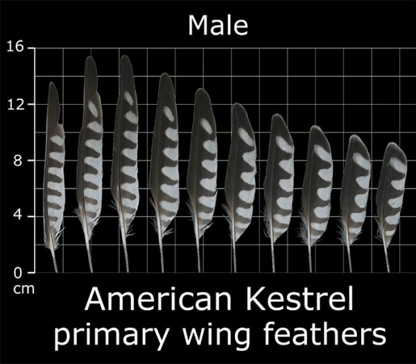 The primary flight feathers of a male kestrel.