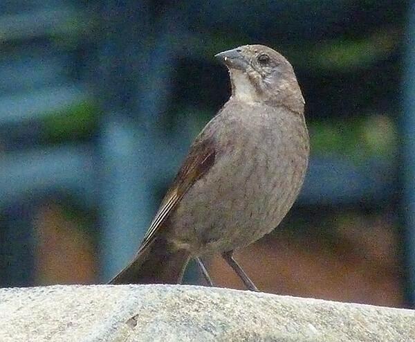 Brown-headed cowbird (female).