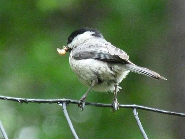 A cautious chickadee.