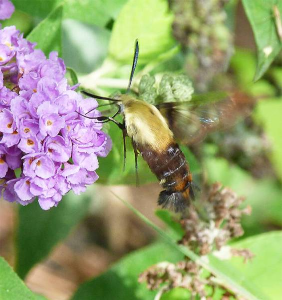 Adult snowberry clearwing.