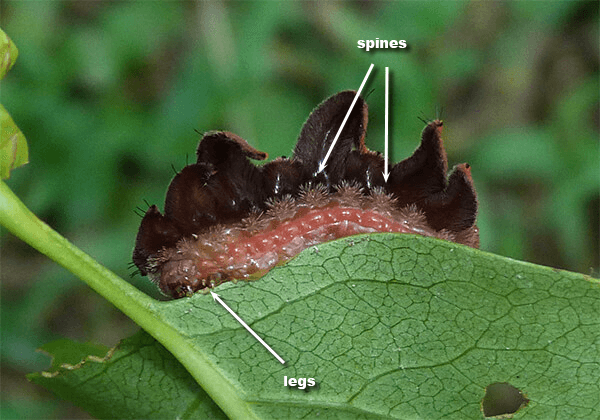 Arrows point to spines and true legs (head on left).