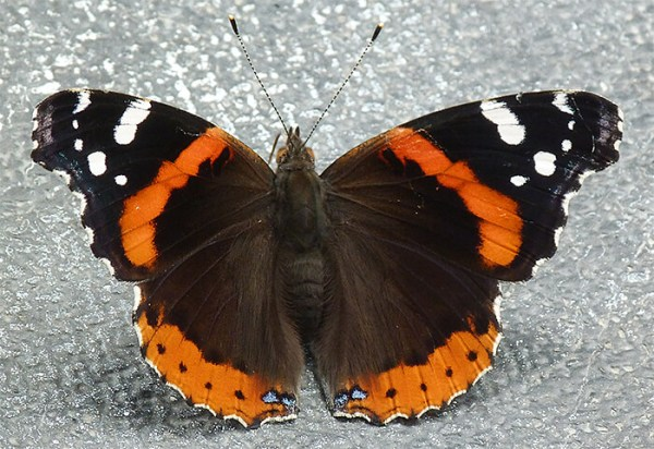 This red admiral is on an exhibit in the Wetlands.