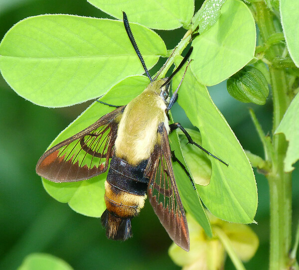 Snowberry clearwing adult.
