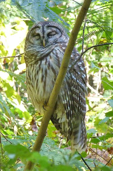 A sleepy barred owl (10/15).