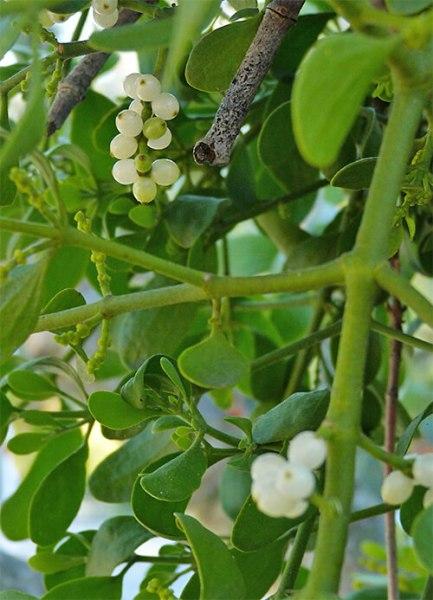 Succulent white berries.