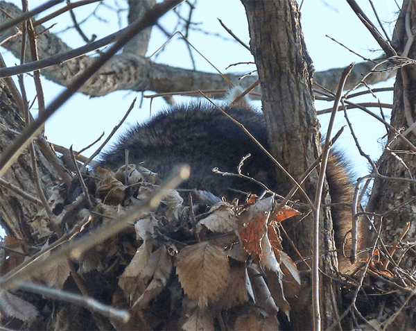 One raccoon ear is visible in this shot.