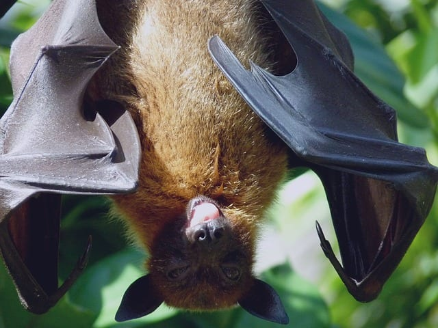 Look how much this bat looks like a flying dog... fuzzy with wings.