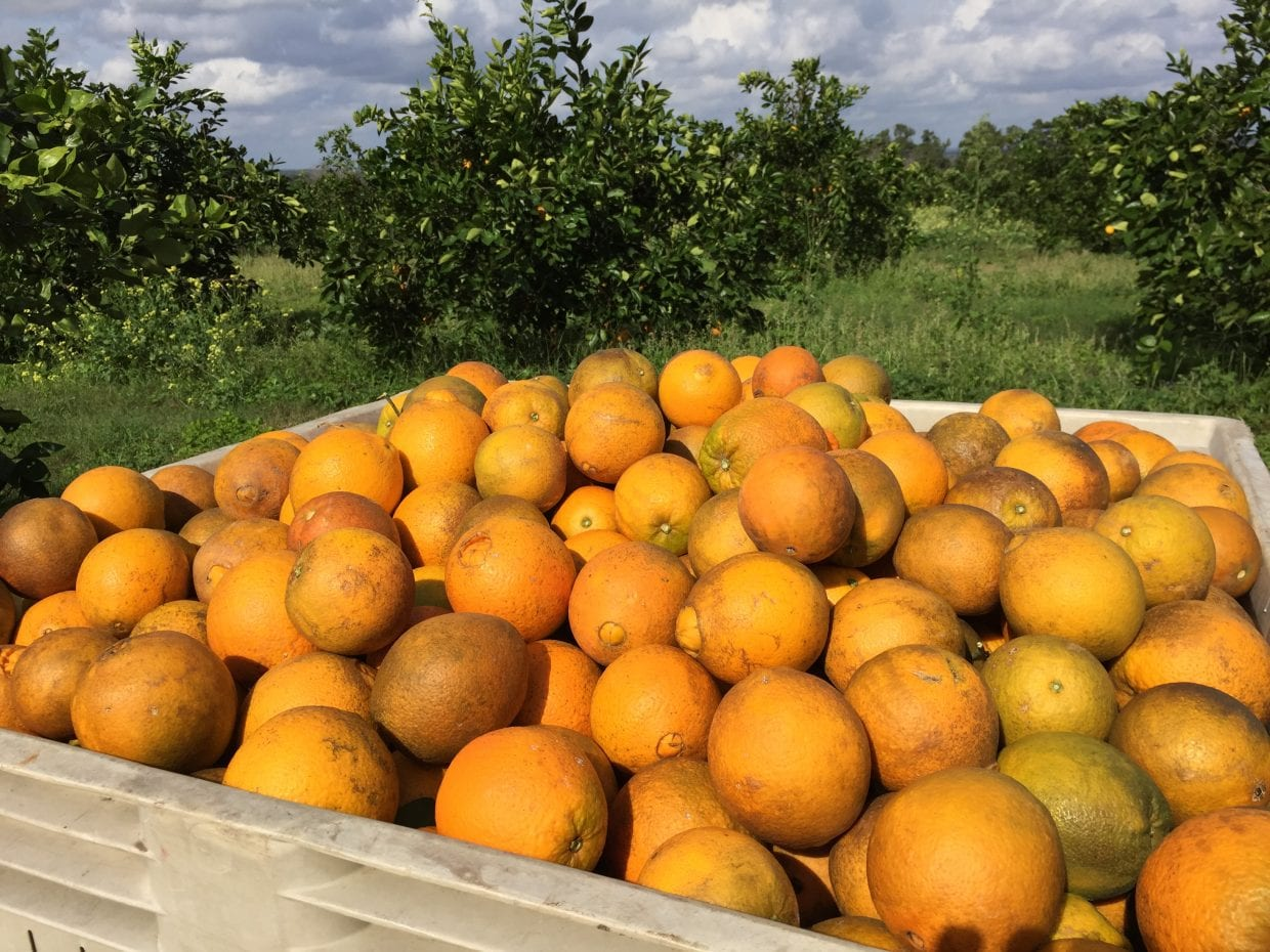 oranges in an orchard