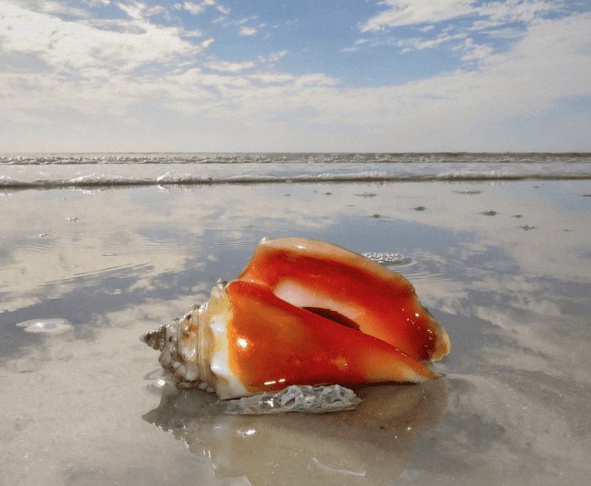 Conch Shell on the Gulf