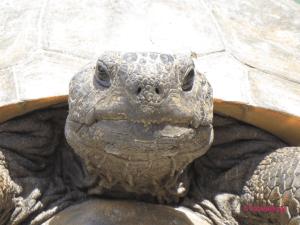 Hello Gopher Tortoise