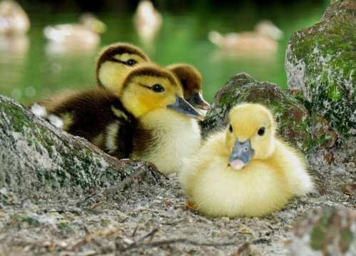 Fuzzy Ducklings