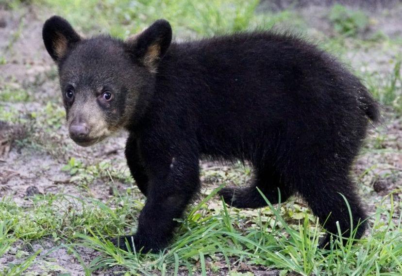 maximus bear