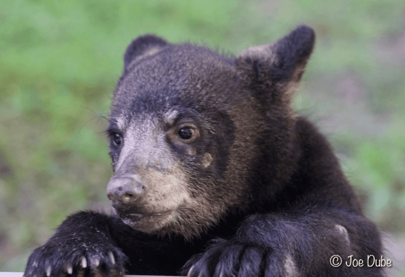 florida black bear cub