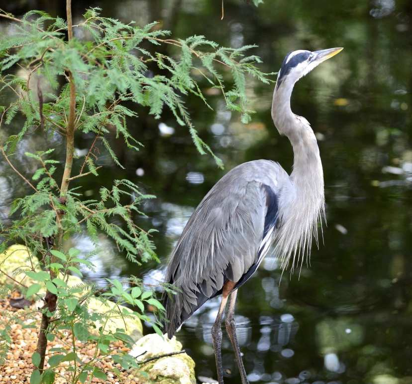 great blue heron by joe dube