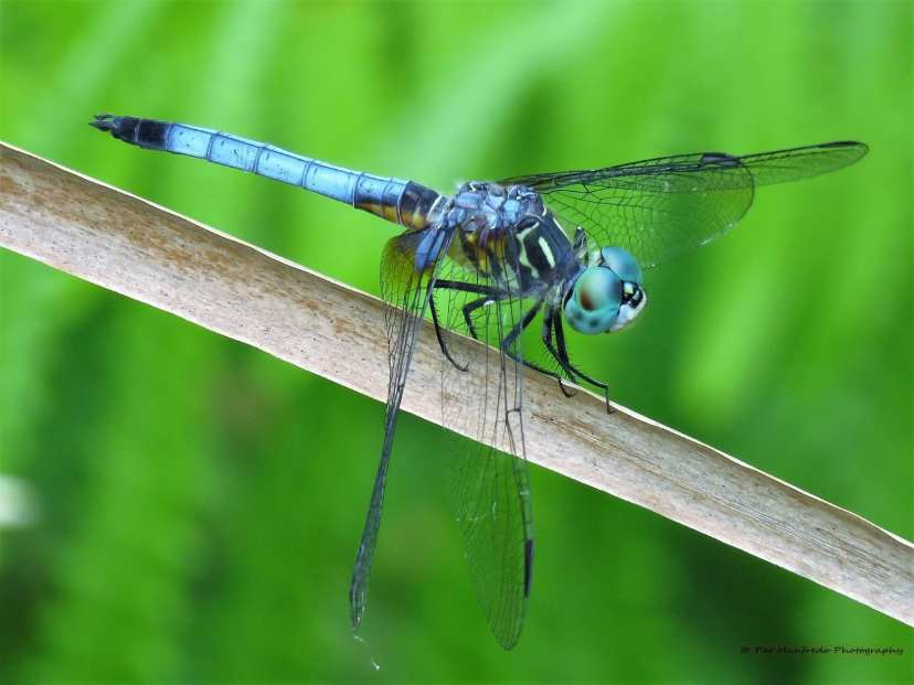 Blue and black dragonfly perched on a branch on Florida's Nature Coast