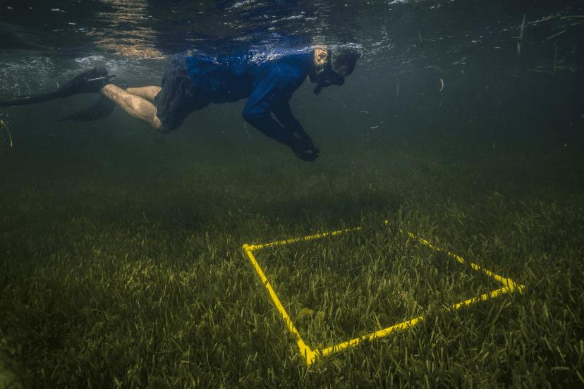 planting eel grass crystal river
