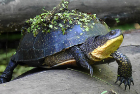 Blanding's turtle (Photo by Rosemary Mosco)