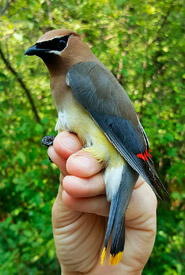 Male cedar waxwing (Photo by NCC)
