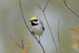 Golden-winged warbler (Photo by Christian Artuso)
