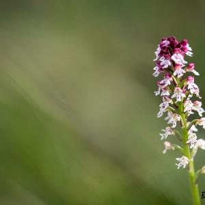 Orchidée Orchis brulé-France-Causse Méjean