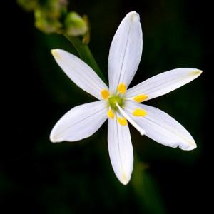 Phalangère à fleur de lis-France-Causse Méjean