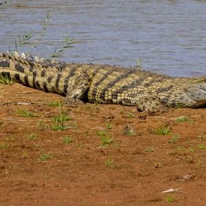 Crocodile-Madagascar