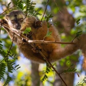 Lémurien brun Eulemur rufifrons-Madagascar