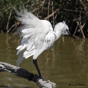 Aigrette garzette-Camargue-France (Parc ornithologique)