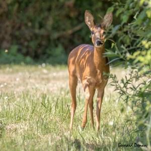 Chevreuil femelle-France-Val d'Oise