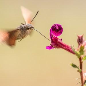 Papillon moro sphinx-France-Val d'Oise