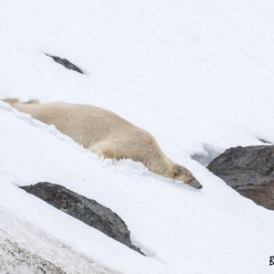 Ours blanc glissant sur le ventre-Spitzberg
