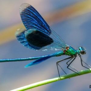 Caloptéryx-Camargue-France